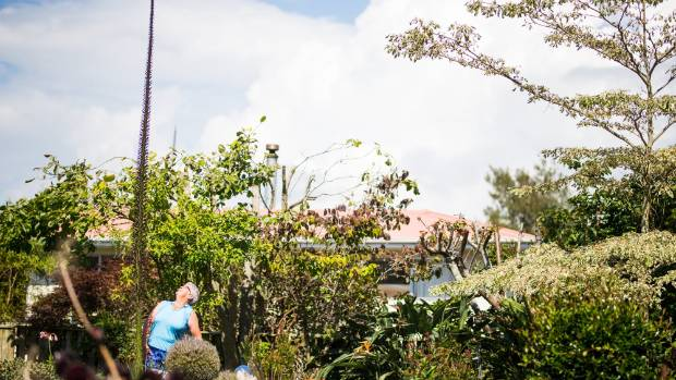 Waitara woman Gaye Mullin is dwarfed in height by her stand-out succulent.