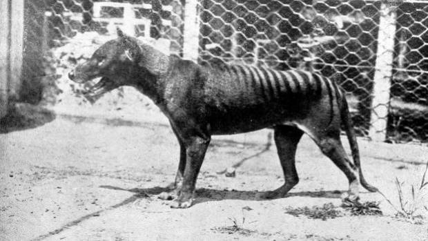 The last known Tasmanian tiger, or Thylacine, died at Hobart Zoo in 1936.