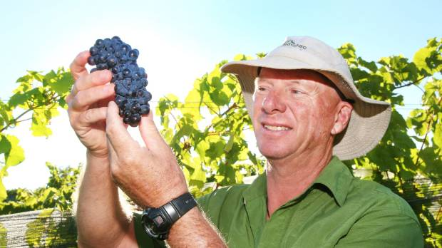 Nautilus Estate viticulturist Mike Collins holds one of the first bunches of pinot noir grapes harvested in Marlborough ...