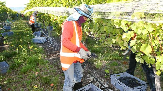 Workers filling up the 13-kilogram containers at Nautilus Estate's Opawa Vineyard block.
