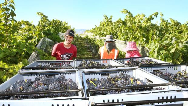 Alapa Viticultural Services workers harvest six tonnes of pinot noir grapes at Nautilus Estate.
