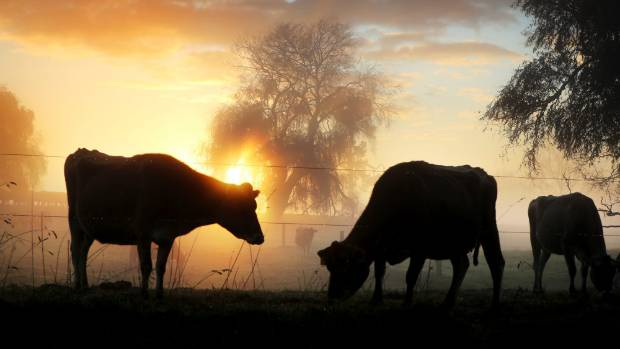 Dairy cows on a misty Waikato morning sun rise. Rural lending has climbed to $60 billion with dairy farming leading the way.