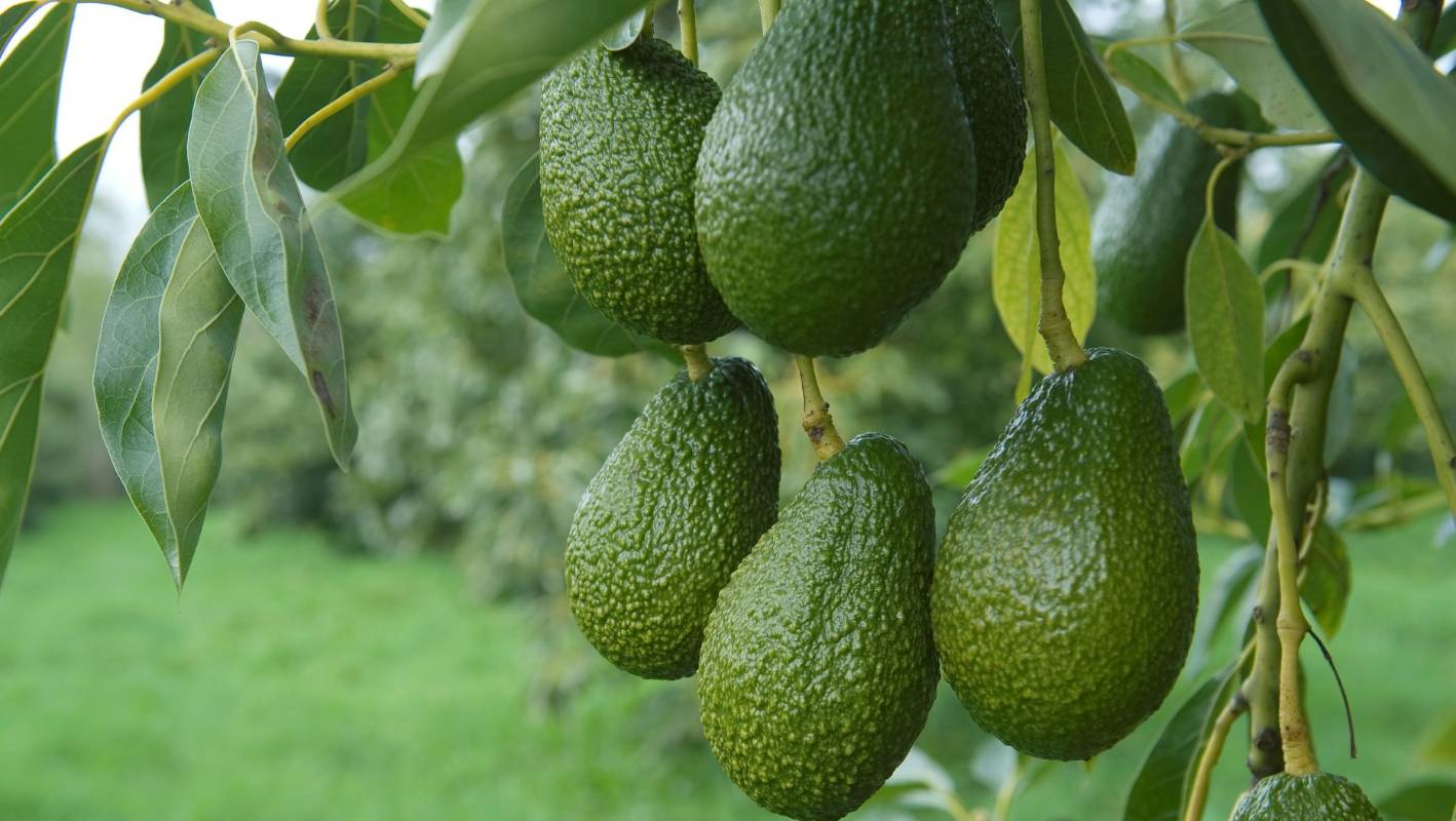 Grow avocado: plant, care & harvest | Stuff.co.nz