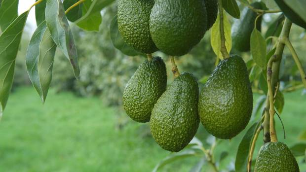 Avocado thieves hit Hawke's Bay and sell goods on Facebook