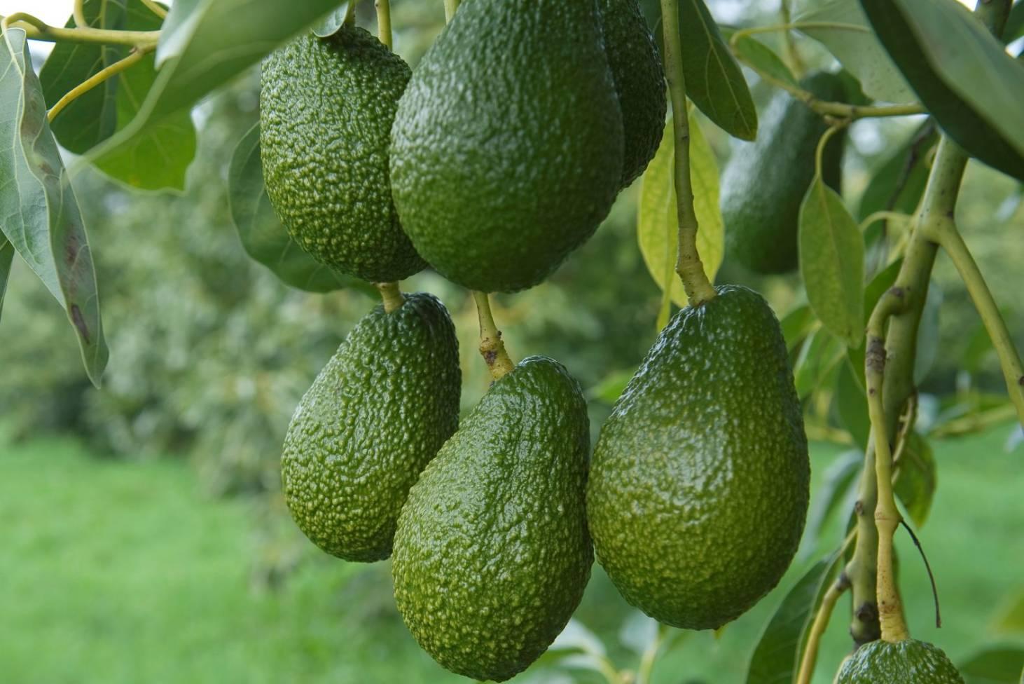 Grow avocado: plant, care & harvest | Stuff co nz