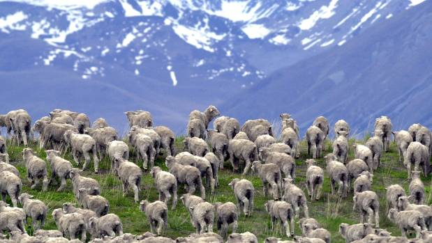 Sheep on a high country station.