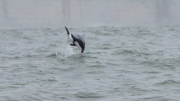 The annual Maui's dolphin survey off Auckland's west coast has just wound up.