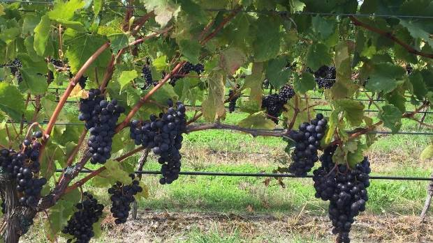 A winery tour is a must for any visitor to the Hawke's Bay.  Grapes hang off the vine now, but by April they will be ...