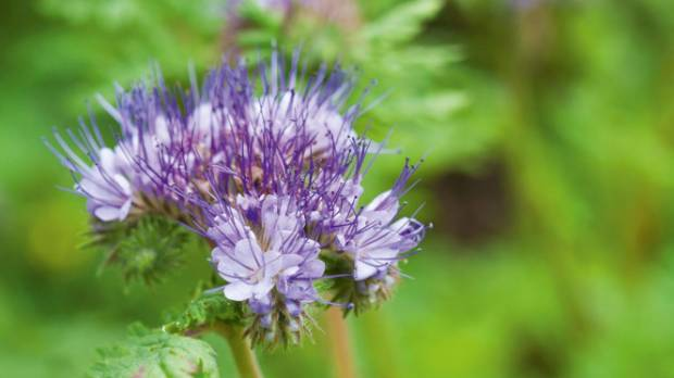 The tiny purple flowers of phacelia planted among the herbs keep the resident bees in raptures.