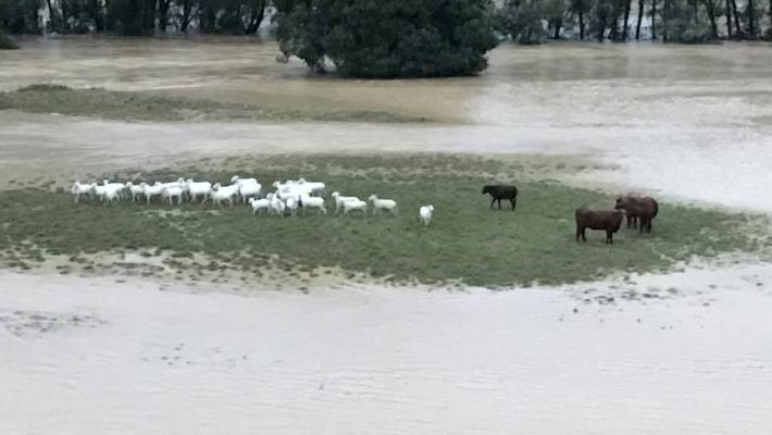 Hunua farmer loses cattle and fencing after swollen river sweeps