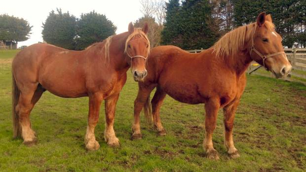 Suffolk punch horses Jackson and Calendula are the two remaining purebred Suffolks in New Zealand.