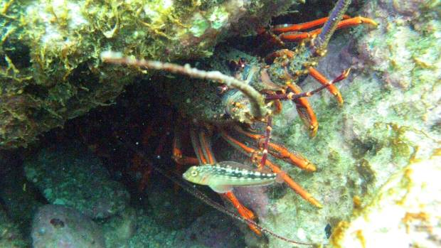 Michael Andrew Dickson, 45, illegally sold more than $30,000 worth of rock lobster, pictured, and paua. (File photo)