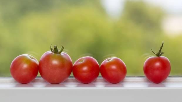 Ripen tomatoes on a windowsill.
