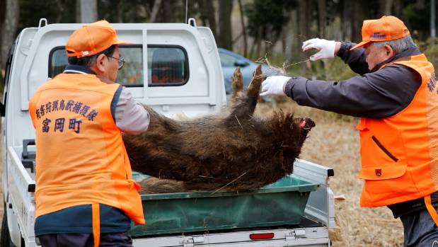 Members of Tomioka Town's animal control hunters group take away a wild boar which was killed by a pellet gun in a booby ...
