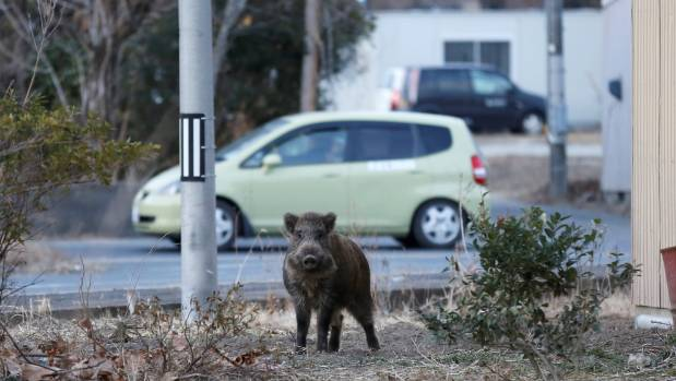 A wild boar is seen at a residential area that was evacuated after the Japanese earthquake and tsunami caused a meltdown ...
