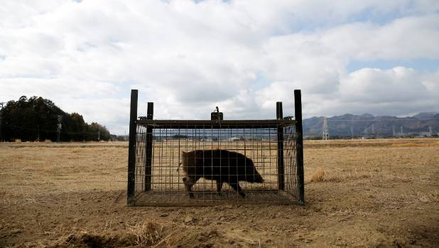 A wild boar is seen in a booby trap in the evacuation zone.