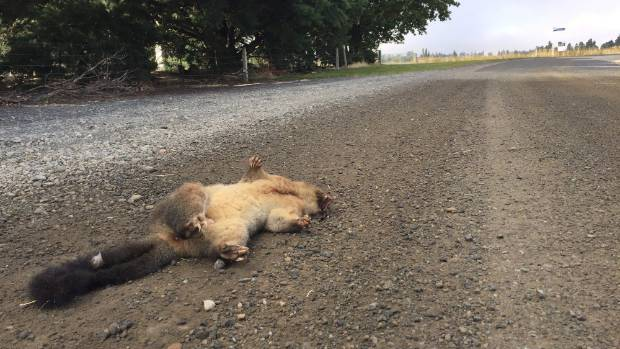 A dead possum on a road near the Middlemarch cemetery.