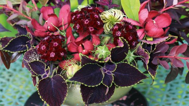 Coleus is long-lasting as a cut flower, and often strikes roots in the vase water before your arrangement dies.