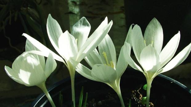 Crocus vallicola.