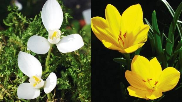 From left: Crocus banaticus 'Albus', Sternbergia lutea.
