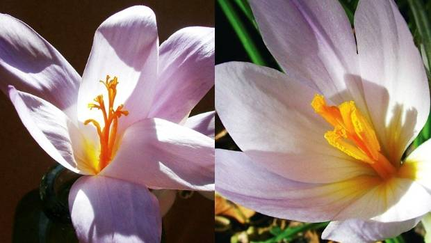 From left: Crocus nudiflorus, Crocus serotinus subsp. salzmannii.