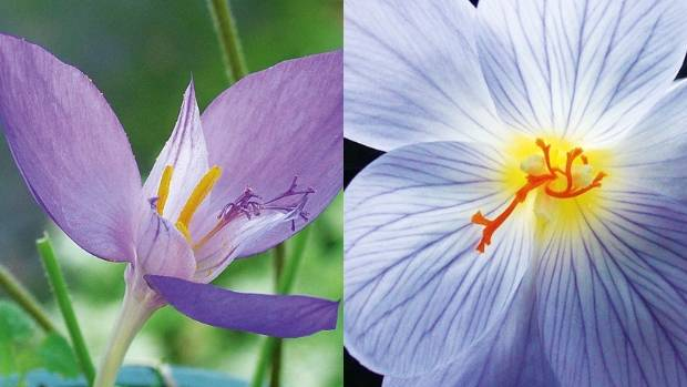 From left: Crocus banaticus, Crocus longiflorus.