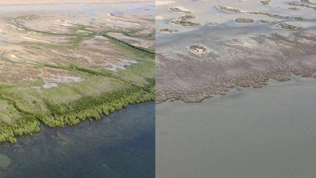 The mangrove wipeout could have multiple impacts, including the loss of fisheries worth hundreds of millions of dollars ...