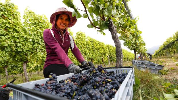 Kittiya Nuandee picks pinot noir grapes for sparkling wine at Nautilus Estate's Opawa Vineyard. Nautilus is among the ...