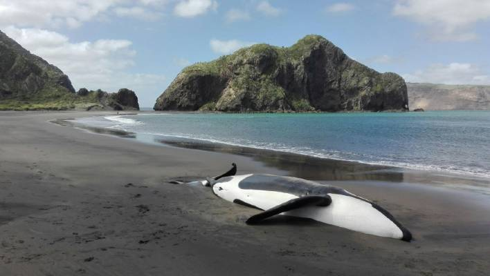 The dead killer whale was found on Monday at Whatipu Beach, West Auckland.