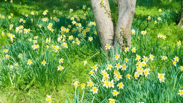 Narcissus in grass around a tree trunk.