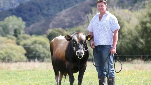 Rai Valley jersey cow breeder Steven Leov, with his prize winning bull, Koroglen Glenmorangi, or Glen.