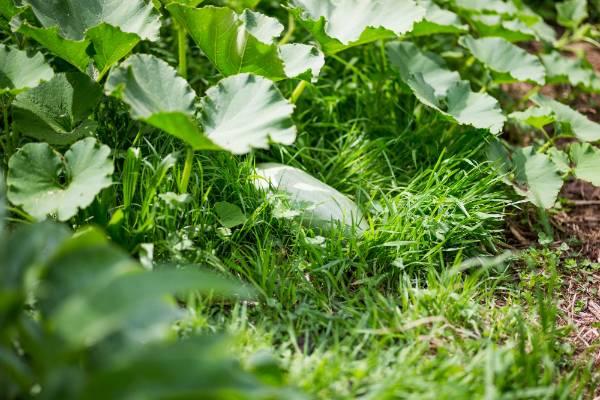 The vegetables grow well in David Cripps' garden.