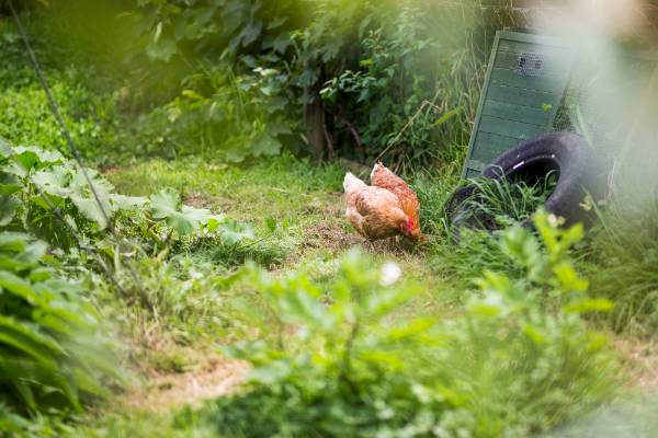 The chickens have free run of David Cripps' garden.