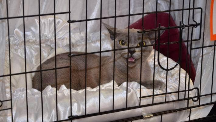 Moggies To Star At 40th Burmese Cat Club Show Stuff Co Nz
