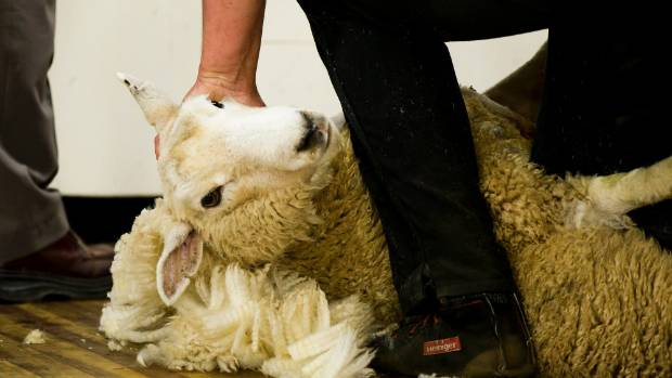 WorkSafe New Zealand wants shearing sheds to have a warrant of fitness to cut injuries which happen in the central North ...