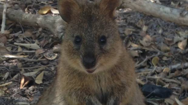 The man was alleged to have thrown a quokka off a jetty.