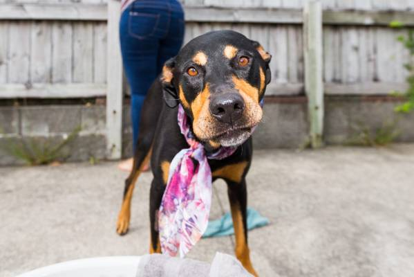 Libby is a seven-year-old Rottweiler huntaway cross.
