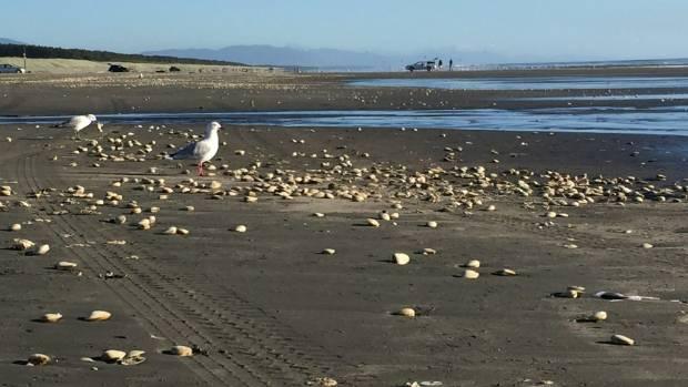 Seagulls eat tuatua shellfish scattered across Waitarere Beach.