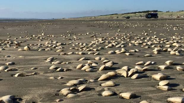 Tua Tua are scattered across the sand on Waitarere Beach.