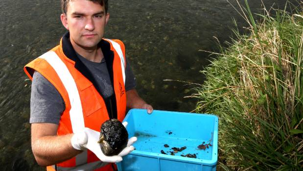 Environment Southland environmental technical officer Nathan Hughes holds up a rock covered with a cyanobacteria mat.