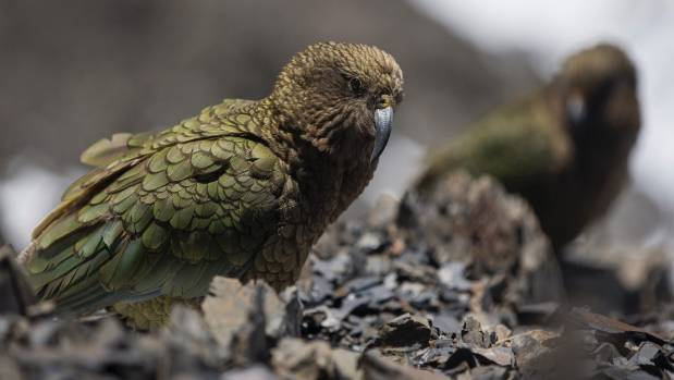 Kea have a specific shriek which causes them to play.