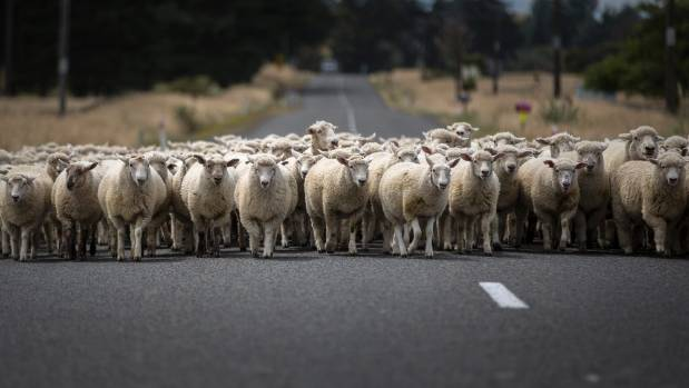 Some farmers move sheep several times a week, and they want to know if they will need a permit every time. (File photo)