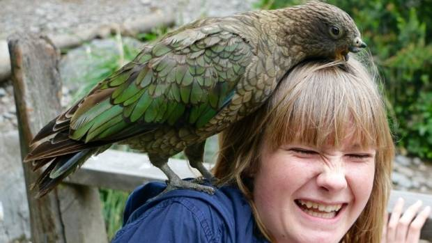 A kea makes friends at Christchurch's Willowbank Wildlife Reserve.