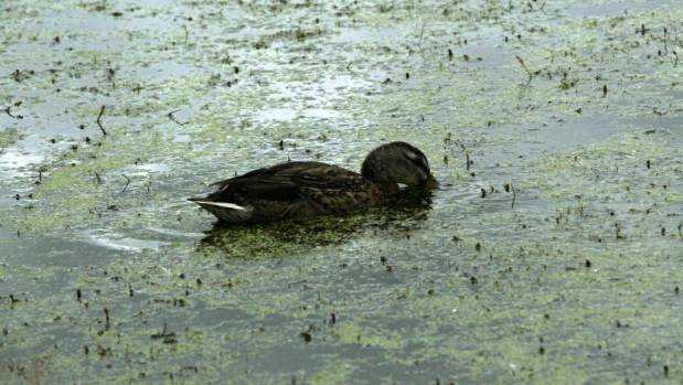One of many ducks dying in Tokoroa's Lake Moananui.