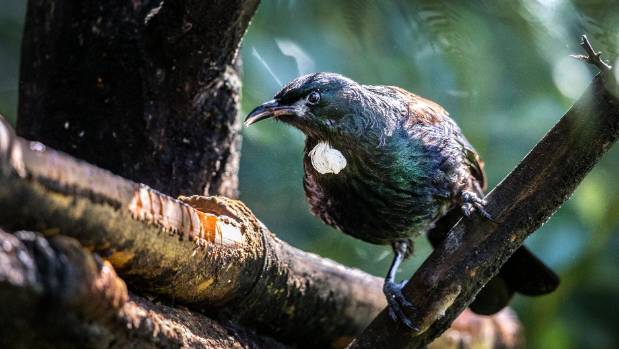 Tui have a home-base territory of at least 1 hectare each. That's the minimum they need to survive.