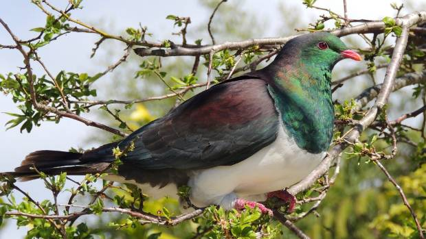 Greening the Red Zone hope that kereru can be attracted back to Christchurch.