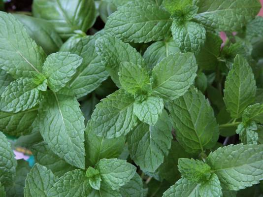 Mint: Divide established plants or take root cuttings. You can also take stem cuttings. Take 10cm long cuttings, ...