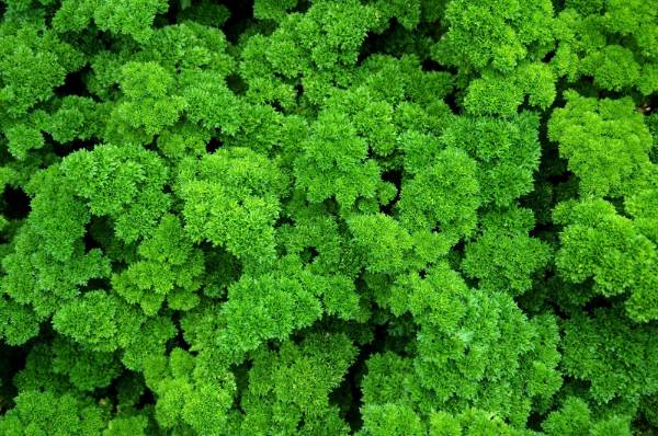 Parsley: Both curly and Italian parsley are biennials but are best treated as annuals. In their second year, leaves are ...