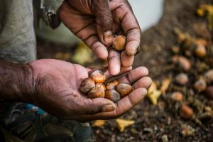 Hand harvested hazelnuts. Malcolm and Jenny Horwell harvest on average four tonnes dry weight of ennis hazelnuts each year.