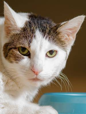 Cats can go wandering. Microchips can make it easier to find cats who have got themselves lost.